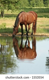 horse drinking from pond