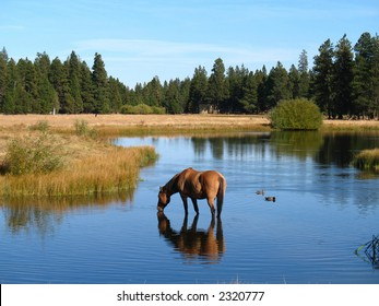 Horse drinking in a pond at Black Butte Ranch in Oregon