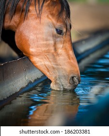 Horse drinks a water, horse head close up.