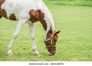 Horse is eating the grass