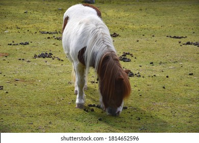 Horse Eating Green Grass Alone On Smooth Field