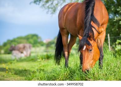 A horse enjoys eating grass