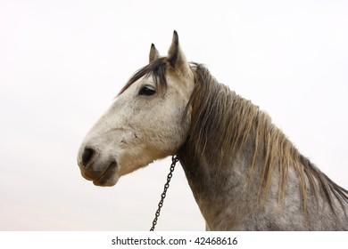 Horse (Equus caballus).