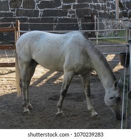 horse (Equus ferus caballus) subspecies of Equus ferus mammal animal