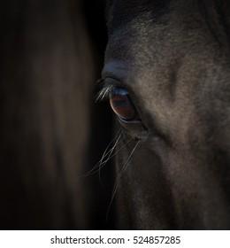 Horse eye closeup. Arabian black horse head. Horse detail on dark background. Square photo.
