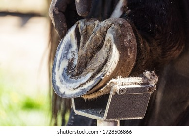 Horse farrier at work - trims and shapes a horse's hooves using rasper and knife. The close-up of horse hoof.