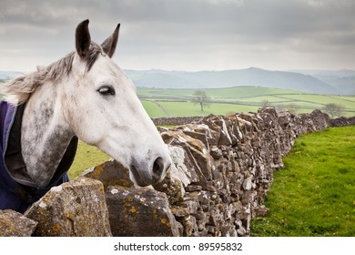 Horse in field gazing over wall against a backdrop of dry stone walls and rolling countryside.