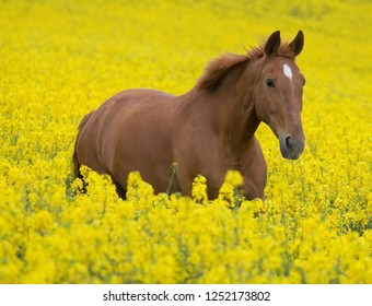 Horse in a field of yellow flowers