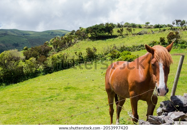 Horse in the fields on island Flores, Azores islands, Portugal