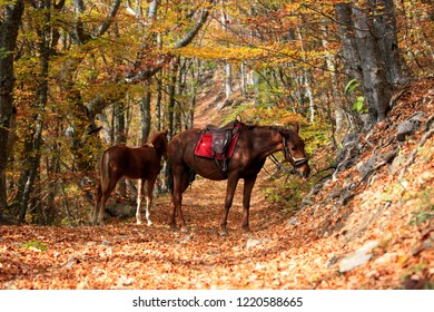 Horse with foal in the autumn forest