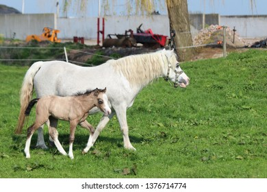 Horse and foal are running over field of grass in the Netherlands