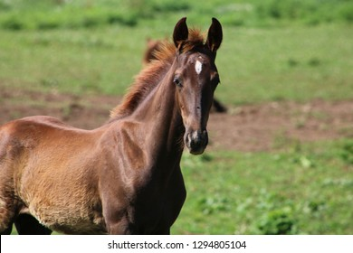 Horse foal with star looking, ears perked