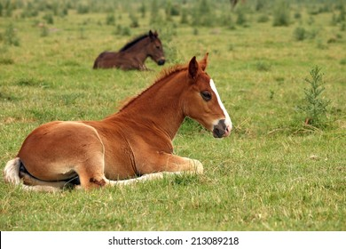 horse foals lying on field