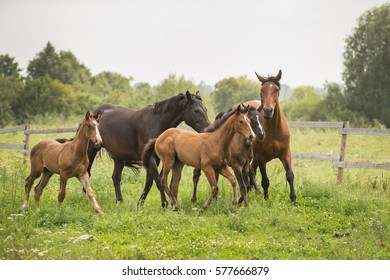 Horse foals with mothers mares at green field