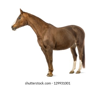 Horse in front of white background