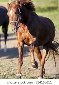 Horse gallop powerful free in paddock frontal