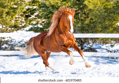 Horse galloping on snow at horse farm