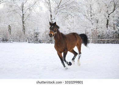 Horse is galloping on snow-covered meadow