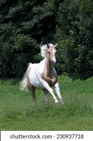 Horse gallops with fine bridle portrait Palomino paint