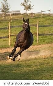 Horse galopp free in paddock frontal