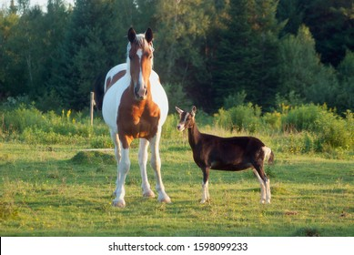 horse and goat friends in field farm animals