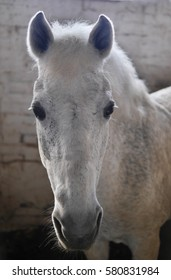 The horse is a gray suit closeup. White horse.