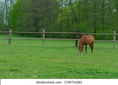 a horse grazes in a corral on a green meadow