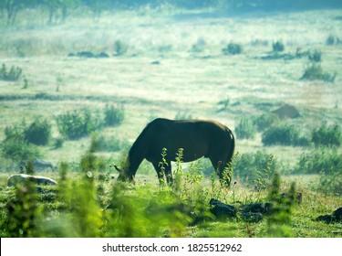 Horse grazing on Alpine pastures. Semi-wild horses in a beautiful mountain landscape