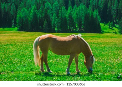 A horse grazing on the spring meadow, Coritna D'Ampezzo, South Tyrol, Dolomites, Italy.