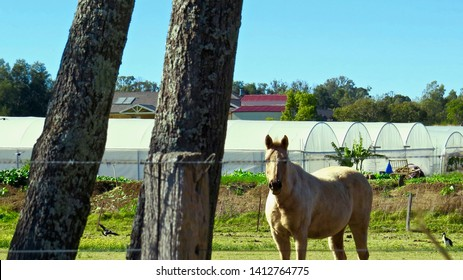 Horse grazing in a paddock, Kemps Creek, New South Wales, Australia on 31 May 2019.