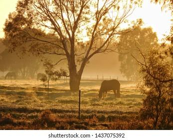 Horse grazing at sunrise outback Australia