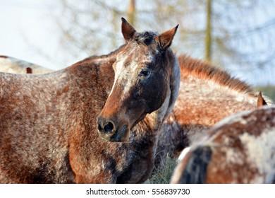 Horse grazing in winter