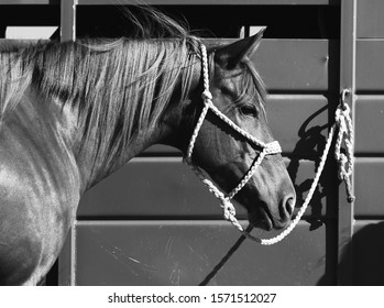 Horse with halter tied to trailer close up with mane blowing in black and white, farm animal portrait.