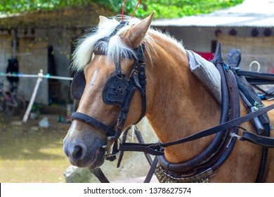 The horse in the harness and in the blinders waiting for passengers