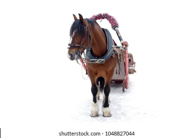 Horse harnessed to a sleigh on white background. Horses as a symbol of past historical centuries.