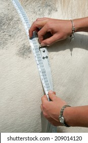 Horse having his weight measured using a special tape.