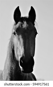 horse head black and white