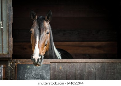 horse head with blaze of attentive spotted brown and white young paint horse mare  peer forward