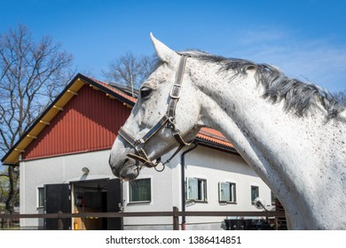 Horse head close up. White speckled horse with grey mane standing in paddock.Thoroughbred horse on stable background and blue sky.