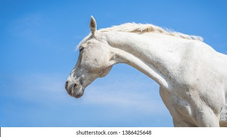 Horse head close up. White speckled horse . Profile of white speckled horse on blue sky background. Thoroughbred horse.