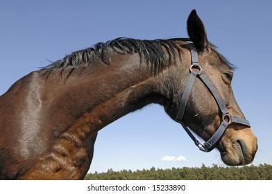 Horse head closeup on blue