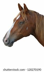 Horse  head, isolated on white,  near Loubressac, France