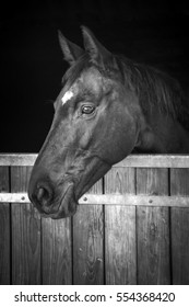 Horse head looking out of his stable, black and white