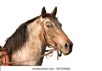 Horse head a Quarter Horse