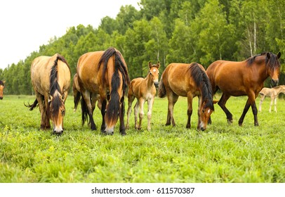 Horse herd in field, mare and foal grazing in horse farm