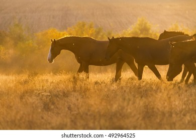 Horse herd move in sunlight at sunset