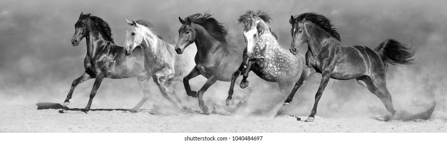 Horse herd run in desert fast. Black and white