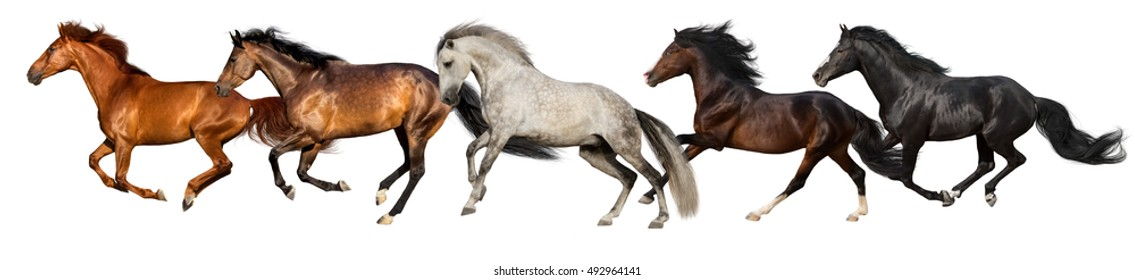 Horse herd run gallop isolated on white background