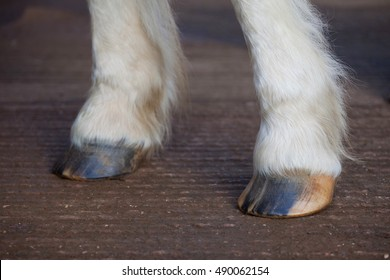 Horse hooves dry without oil