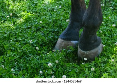 Horse hooves on the lawn. Horse grazing.